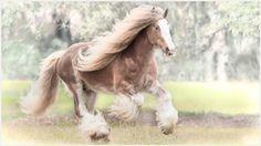 Gypsy Horse Wallpaper | gypsy horse wallpaper