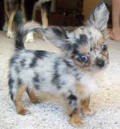chorkie!!! If I were promised that the puppies would turn out this adorable, I'd go breed Crosby right now!!!