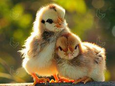 Для того что бы цыплята росли здоровыми и крепкими, в их корм добавляют витамины, крайне необходимые им. http://kurinyjdom.ru/razmnozhenie-kurits/vitaminy-neobkhodimye-tsyplyatam.html
