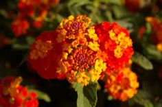 Lantana, planta de sol