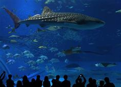 This whale shark is the key attraction at an aquarium in Okinawa, Japan. The Gulf of Mexico is home to other whale sharks that begin their migration to northern Gulf waters in June.