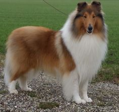 ❤️ Classic and beautiful Sable Collie