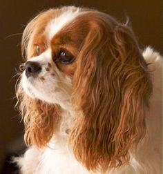 All About Smart Cavalier King Charles Spaniel Grooming Cavalier King Charles Dog, King Charles Spaniel, Cocker Spaniel, Beautiful Dogs, I Love Dogs, Dog Breeds, Dogs And Puppies, Spaniels, Freckles