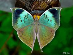 The Blue Oak-leaf: Kallima horsfieldi - Maharashtra, India Dragonfly Insect, Insect Art, Cool Insects, Bugs And Insects, Butterfly Wallpaper, Butterfly Wings, Dragonfly Wings, Butterfly Mobile, Beautiful Bugs