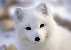 Raposa Branca do Ártico