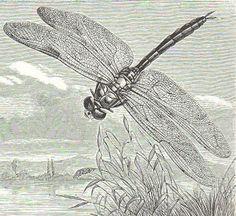 Dragonfly Illustration, Graphic Illustration, Frog Drawing, Frog Design, Dragonfly Art, Art Studios, Vintage Images, Art Images, Pond Life