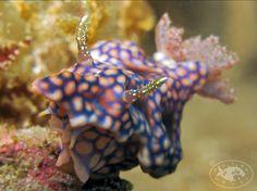 Nudibranch (Miamira sinuata) by Brian Mayes