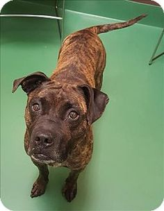 Sterling Heights, MI - Boxer Mix. Meet Madison, a dog for adoption. http://www.adoptapet.com/pet/18372448-sterling-heights-michigan-boxer-mix