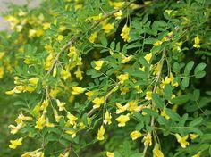 Siperianhernepensas - Caragana arborescens