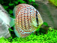 leopard ring discus fish - Google Search