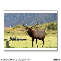 Reindeer in Alaska Postcard  #reindeer, #elk, #alaska, #moose #rack, #nature, #wilderness, #wild, #wildlife, #usa, #landscape, #forest, #autumn, #animal, #meadow, #fall, #america #postcard