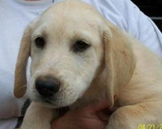 yellow lab 2 is an adoptable Labrador Retriever Dog in Monticello, GA. More Information to follow- about 12 weeks old-Contact Barbara for more information 678-591-8231 Leave a message about the lab pu...