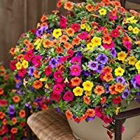 Cicitar Garden- Rare Calibrachoa Carnival Mix Million Bells Mixed, Mini Petunia-Like Flowers Easy to Grow, Exotic Flower Seeds Hardy Perennial in Hanging Baskets Petunia Hanging Baskets, Plants For Hanging Baskets, Colorful Plants, Cool Plants, Potted Plants, Colorful Flowers, Container Flowers, Container Plants, Succulent Containers