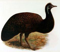emu negro