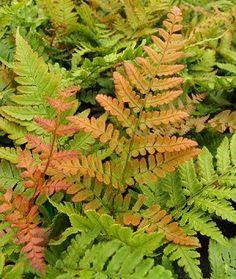 "Autumn fern dryopteris erythrosora ""Brilliance"". Hardiness zone 3-8, full to partial shade."