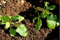 How to Garden Spinach in a Container   eHow