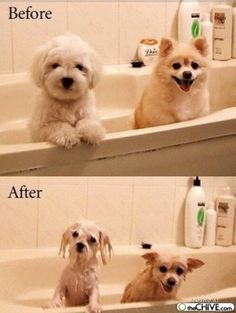 I love how the pom looks just as happy wet.  Nothing gets those dogs down.  :)