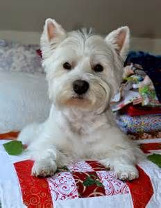 Westie Fabric - Yahoo Image Search Results