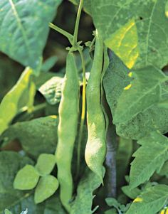 Runner Beans-I'm turning into a southern gardener ;-)