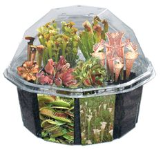 Carnivorous Creations Dome Garden  Grow your own collection of feared and famous meat eating plants! This deluxe edition has seeds from over ten varieties of carnivorous plants! Watch these fascinating plants grow into bug-eating monsters! Make your own authentic bog with the included peat planting mix, blue Swamp Rocks, three Bog Buddies and full color decals! This rare amd unusual collection of carnivorous plants will flourish for years in this specially designed terrarium with proper…