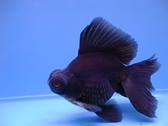 black moor goldfish - I have had a few of them. RIP Lola, Rico, Boris & Natasha...