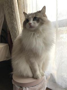we love cats. Ragdoll Cat Breed, Birman Cat, Cute Cats And Kittens, I Love Cats, Kitty Cats, Cat Aesthetic, Beautiful Cats, Cat Toys, Cat Memes