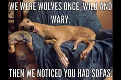 From wolves to dogs! Find more greyhound meme's here: www.facebook.com/collartownpage