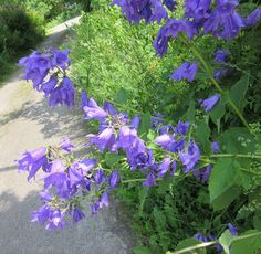 Campanula latifolia, Ukonkello, Giant Bellflower