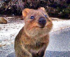 quokka #australia #wa #happy #heisalwayshappy #wanthim #cute ...