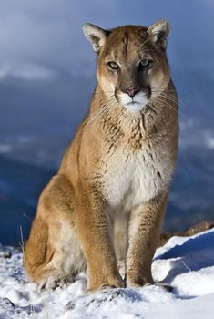 Cougar (Mountain Lion/ Puma) … beauty in the snow! Cougar (Mountain Lion / Puma) … Schönheit im Schnee! Big Cats, Cool Cats, Cats And Kittens, Ragdoll Cats, Siamese Cats, Nature Animals, Animals And Pets, Cute Animals, Wild Animals