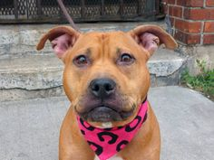 RIP TO BE DESTROYED - 10/13/14 Brooklyn Center - P ***NEW PHOTO***  My name is ROXY. My Animal ID # is A1016430. I am a female brown and white pit bull mix. The shelter thinks I am about 2 YEARS   I came in the shelter as a STRAY on 10/05/2014 from NY 11356, owner surrender reason stated was STRAY. https://www.facebook.com/Urgentdeathrowdogs/photos/a.611290788883804.1073741851.152876678058553/886309464715267/?type=3&theater