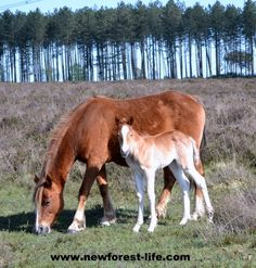 New Forest pony and her foal