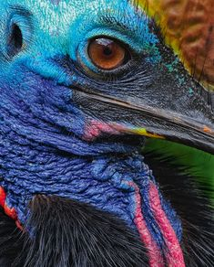 Cassowaries are covered in black feathers with the exception of the skin on the head and throat, which are brightly coloured red and blue.  by Kaisa and Stanley Breeden