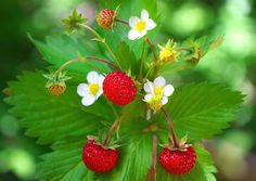 Wild Strawberry (Fragaria Vesca Baron Solemacher) - Grow Strawberry seeds for this old-fashioned favorite ground cover plant. Known as Wild Strawberry, Woodland Strawberry or Alpine Strawberry, this w Bonsai Garden, Garden Plants, House Plants, Strawberry Seed, Strawberry Plants, Horticulture, Alpine Strawberries, Growing Mushrooms, Fruit Seeds