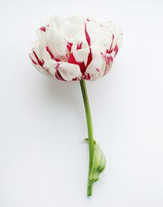 carnaval de nice double tulip