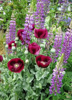 Papaver 'Lauren's Grape &   perennial Lupinus perennis from Annie's Annuals