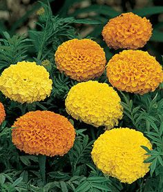 Climax Mixed Clrs Hybrid Marigold Seeds and Plants, Annual Flower Garden at Burpee.com
