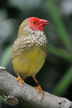 'Do not blush' Star Finch Neochmia Rificauda, showing his red face ~~by Ricard  Ametller Saula~~