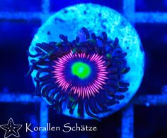 Lord of the Rings Zoa