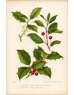 Holly - Vintage Botanical Print - The Graphics Fairy Christmas Holly Images, Christmas Graphics, Christmas Clipart, Christmas Art, Vintage Christmas, Christmas Colors, Illustration Botanique, Illustration Noel, Botanical Illustration