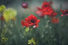 flowers ph: Ariadna Belkina Alex Day, Paint Prep, Best Portraits, Famous Photographers, Red Poppies, Flower Photos, Portrait Photography, Flower Photography, Still Life