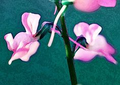 Violet Orchids with beautiful abstract effects.