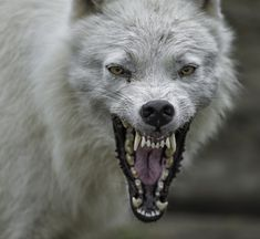 Wolf Images, Wolf Photos, Feral Heart, Snarling Wolf, Angry Wolf, Wolf Love, Wild Wolf, Beautiful Wolves, Wolf Tattoos