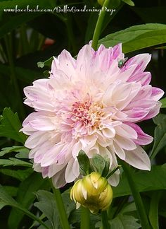 Dahlia - 'Mothers Day' - 2014