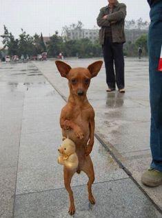 Chihuahua aqui casual