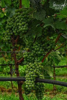 Vineyards of Novacella Abbey by Lord Markus, via Flickr