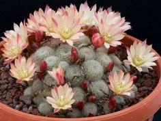 Rebutia 'Sunrise' is a popular hybrid between Rebutia heliosa and Rebutia pulvinosa subsp. It is an attractive cactus with stem. Cacti And Succulents, Planting Succulents, Cactus Plants, Exotic Flowers, Amazing Flowers, Cactus Flower, Flower Pots, Peonies Garden, Cactus Y Suculentas