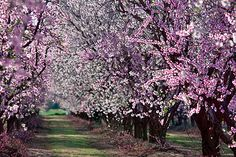 A mixed orchard of peaches and almonds blooms in glorious colors south of Yuba City.