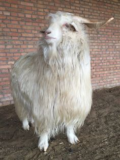 Cashmere Goat, Inner Mongolia (Photo by Paychi Guh)