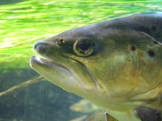 North American freshwater fishes race to extinction